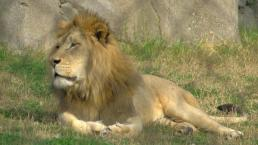 Lion Attacks Zoo Intruder
