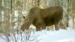 Alaska Launches Urban Moose Count