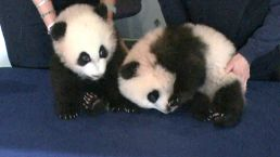 Panda Twins Remain Tightly Guarded