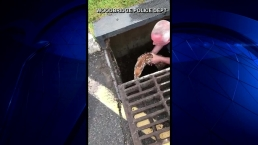 Caught on Video: Officer Saves Deer From Storm Drain
