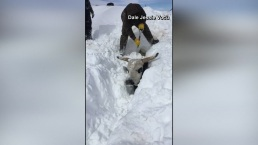 Ranchers Dig Cattle Out of Snow in Montana