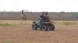 RAW: Emu on the Loose!