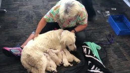 Service Dog Gives Birth at Airport