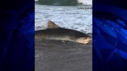 Tiger Shark Captured Caught On Camera