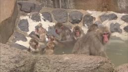 Monkeys Enjoy Hot Bath