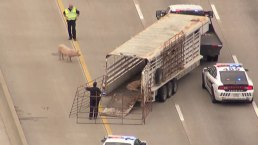 Photos: Wrangling Loose Pigs on I-45 After Fiery Crash