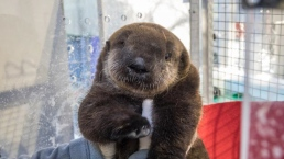 Adorable Orphaned Sea Otter Pup Settling in at Oregon Zoo