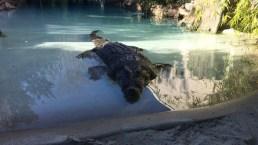 Crocodile Predicts Super Bowl Victory