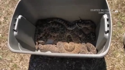 45 Snakes Removed From Under Texas Home