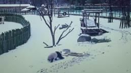 Panda Plays In Snow