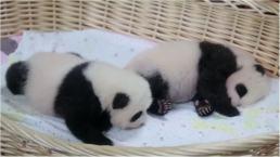 Twin Pandas Make Adorable Debut