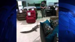Gator Goes Furniture Shopping