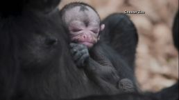 Cute Alert! Tiny Spider Monkey Born at Chester Zoo