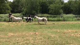 NRH Police Catch Loose Horses