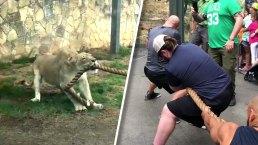 Tug of War: Lion Cub vs Wrestlers