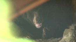 Bear Moves Into Man's Home