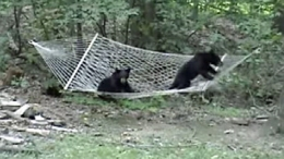 Two Black Bears Play on Hammock