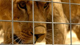"Lion Featured on ""Ellen"" Kills Intern at Calif. Animal Sanctuary"