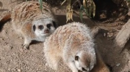 Oakland Zoo Welcomes Three Baby Meerkats
