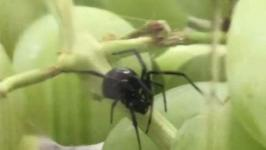 Woman Finds Black Widow in Connecticut Grocery Store Grapes