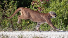 Florida Sets New Record for Documented Panther Deaths