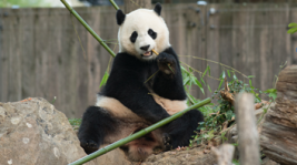 Bao Bao to Move to China in Early 2017