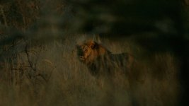 Photo Shows Jericho the Lion Still Alive, Zimbabwe Says