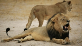 American Accused in Killing of Famous African Lion, Cecil