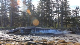 Whale Deaths Off Alaska Island Remain Mystery: Scientists