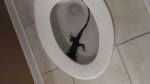 Woman Shocked to Find Iguana in Toilet