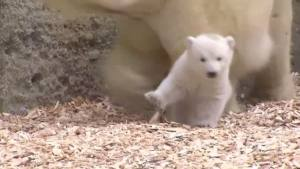 Polar Bear Cub Makes Debut