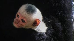 Baby Colobus Monkey Born at Dallas Zoo