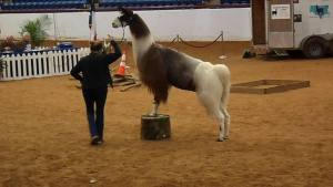 Llamas, Horses and The Fort Worth Stock Show