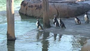 Baby Penguins Take First Swim