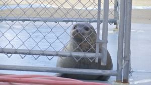 Injured Seal Heading to New Home