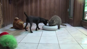 Young Raccoon and Puppy Form Adorable Friendship