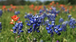 Wildflower Forecast: Typical, Still Terrific