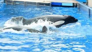 Orca Show is Over: SeaWorld San Diego Shuts Down Killer Whale Show