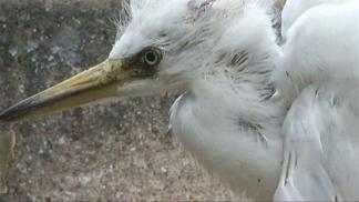 Egret Invasion Stinks Up Carrollton