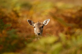 Deer Euthanized to Test for Neurological Disease