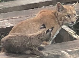 Big Cat Family Moves in to Dallas Resident's Backyard