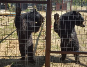 Three Rescued Black Bears Get New Texas Home