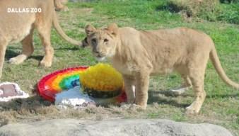 Dallas Zoo Celebrates Lion Cub's Birthday