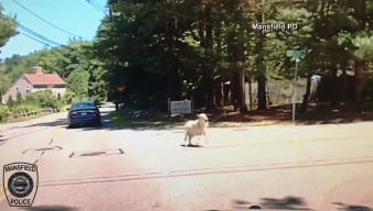 Sheep on the Lam After Police Chase