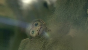 Baby Silver Gibbon Makes Its Debut
