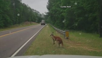 Kangaroo Gets Loose, Hops Along Side of Road