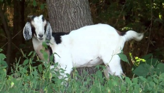 Neighbors Try to Wrangle Goat on the Run