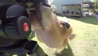 News Crew Meets Friendliest Cow