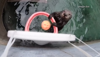 Meet Juno, The Ball Dunking Otter
