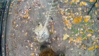 Caught on Camera: Leopard Cubs Play With Rope